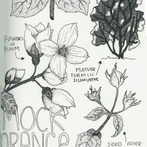 Jasmine Doughty's Illustration of Mock Orange
