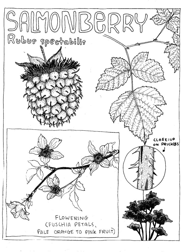 Salmonberry - Rubus spectabilis