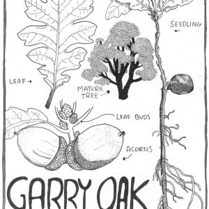 Quercus-garryana