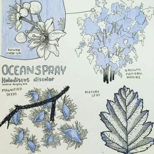 Holodiscus discolor - oceanspray