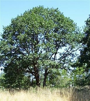 Sound Native Plants Oak Priority Habitat