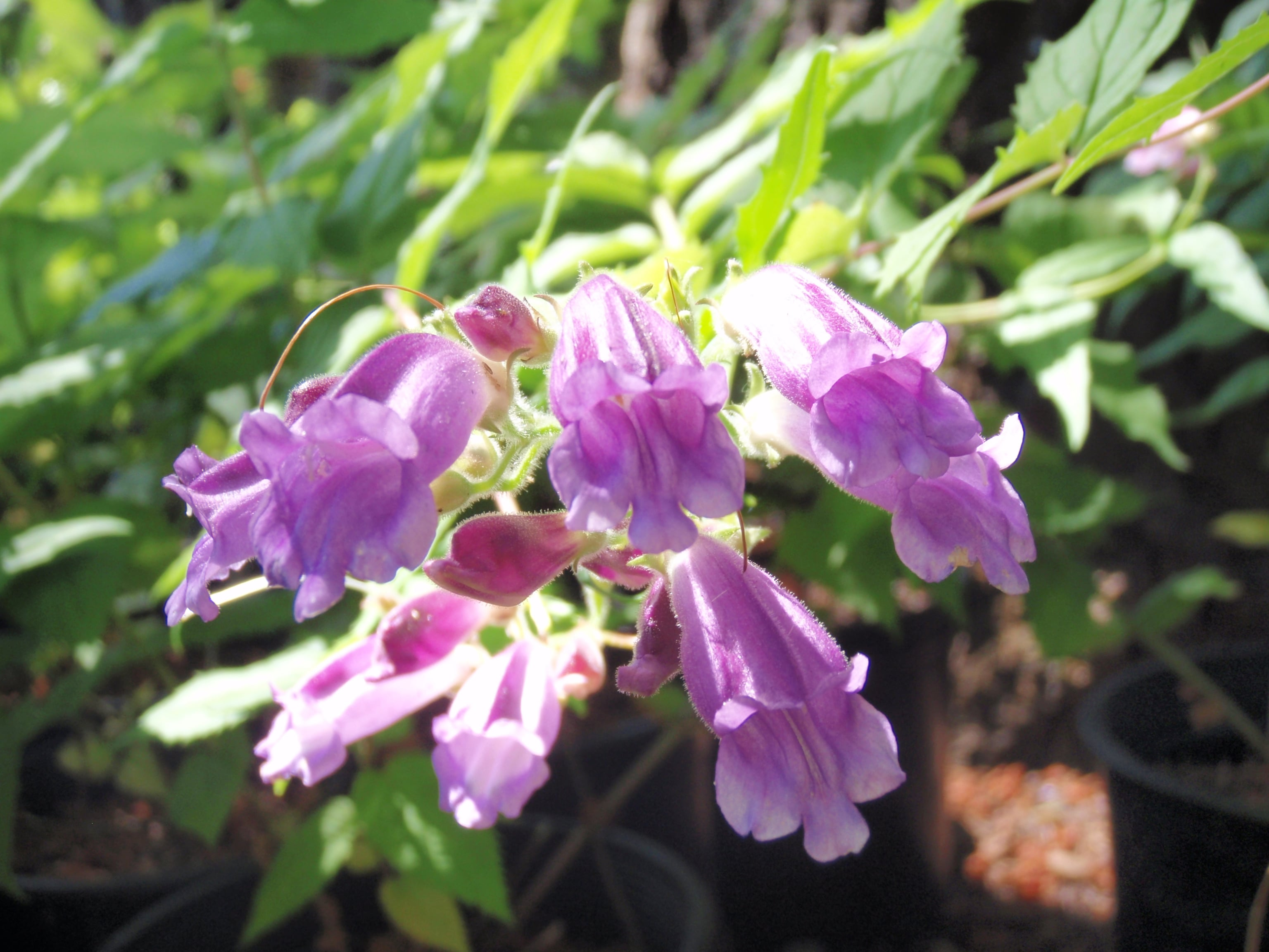 Woodland beardtongue