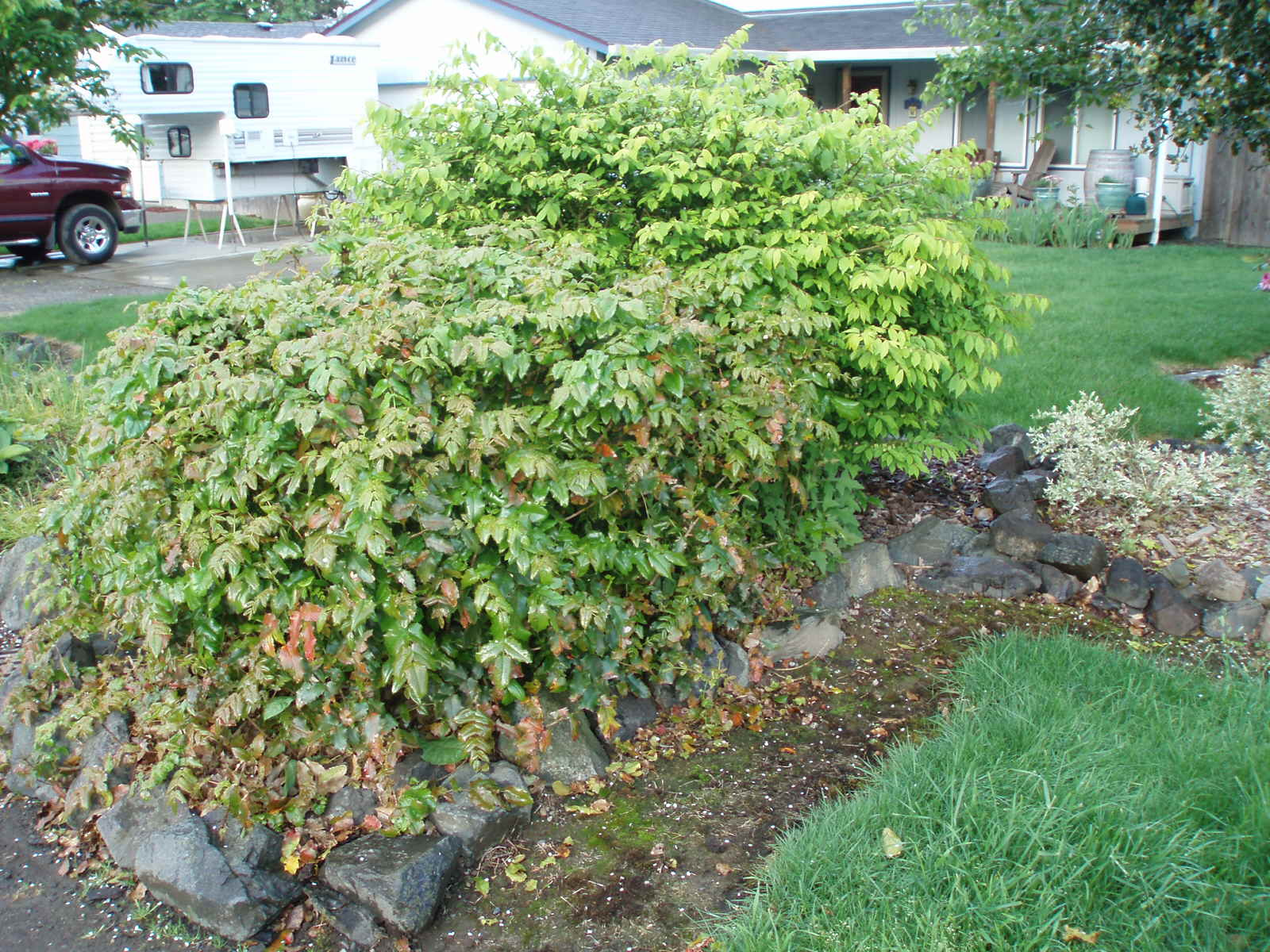 Flowering evergreen shrubs pacific northwest thin blog for Low maintenance evergreen shrubs
